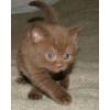 Британские котята редких окрасов из Питомника Ольги Барсуковой