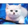 Британские котята Серебристые шиншиллы с изумрудными глазками