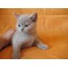 Британские котята шоколадного,  голубого и лилового окраса!