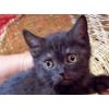 Британские котята в Протвино