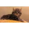 Британские котята вискас.  Качество породы.