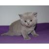 Британские лиловые котята с отличной родословной