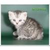 Британские мраморные и пятнистые котята