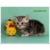 Британские зеленоглазые котята редкого окраса