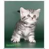 Британские зеленоглазые мраморные котята