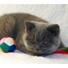 Британский голубой котик продается