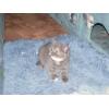 Британский котенок,  Ясенево,  8000 р.