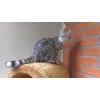 Британский котик вискас.  Качество породы.
