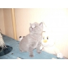 Британский кремово-голубой котенок,  м. Ясенево (8000) .