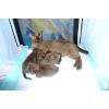 Бурманские котята! ! !