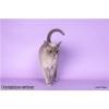 Бурманские котята,  американская бурма