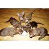 Бурманские котята соболиного и шоколадного окраса!