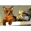 Бурманские котята соболиного окраса! ! !