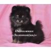 Черно-подпалые щенки миниатюрного шпица купить