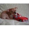 Чихуахуа,  3. 5 мес. ,  супер мини мальчик,  ярко рыжий,  РКФ