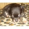 Чихуахуа мини девочка чёрно-подпалая