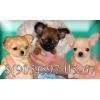 Чихуахуа мини щенки для дома,  шоу и выхода в свет