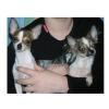 Чихуахуа щенки минюшки-подрощенные- продам