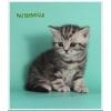 Чистокровные зеленоглазые британские котята