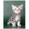 Чистокровный британский мраморный котёнок