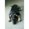 Чудесный щенок, 3 месяца,  в дар.  В добрые руки
