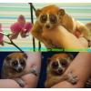 Домашние карликовые обезьянки: тамарины,  игрунки (мармазетки) ,  саймири