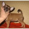 Два щеночка чихуахуа