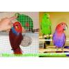 Эклектус(Благородный попугай)  – очаровательные птенцы-выкормыши!