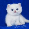 Эксклюзивные котята британские шиншиллы-пойнт синеглазки