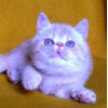 Экзотические котята модных телесных (камео)  окрасов
