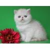 Экзотические котята(персидские с плюшевой шерстью)