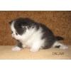 Экзотические плюшевые котята