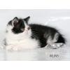 Экзотический короткошерстный котик