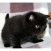 Экзотический котик Агат