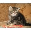 Экзотический плюшевый котик