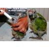 Фестивальный Амазон – ручные птенцы выкормыши.
