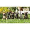 французские бульдоги щенки