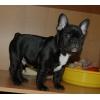 Французский  бульдог,  щенки темно-тигрового окраса р.  17. 01. 11 продаются