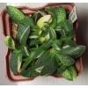 Гастерия gracilis variegata