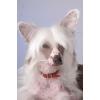 Голая китайская хохлатая собачка-мини щенки