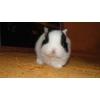 Голландский кролик карликовый