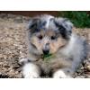Голубой щенок колли в питомнике АЛХЕНИУЛ