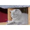 """Голубые британские котята из  питомника """"BRITISH SYMPHONY"""""""