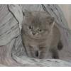 Голубые плюшевые котята скоттиш-страйт мальчики
