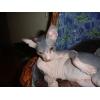 Голые котята донского сфинкса с родословной