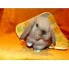 Хотите купить вислоухого кролика?