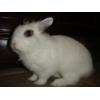 Карликовый белый кролик