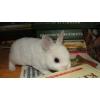 Карликовый Кролик Рекс,  купить его можно в питомнике