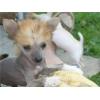 Китайская хохлатая-щенки