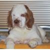 Кламбер спаниель - щенки